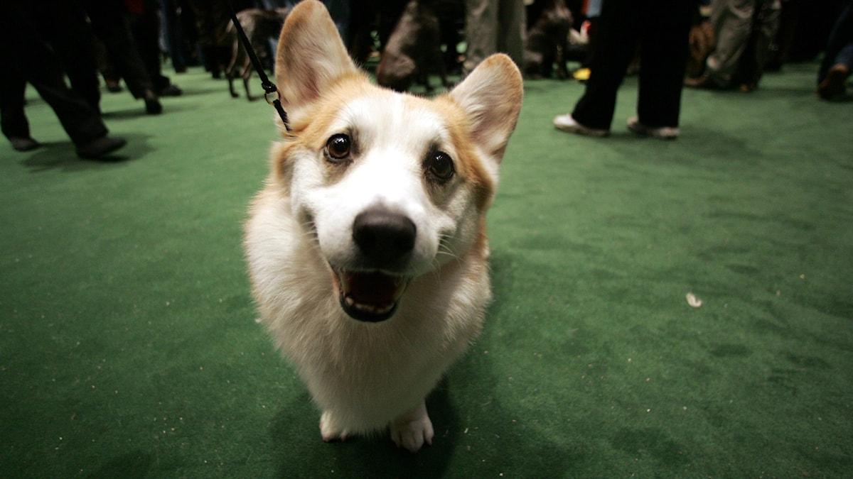 En hund av rasen Welsh Corgi stirrar in i kameran.