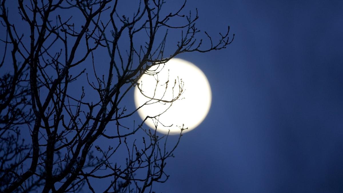 Fullmåne bakom lövfria grenar i ett buskage.