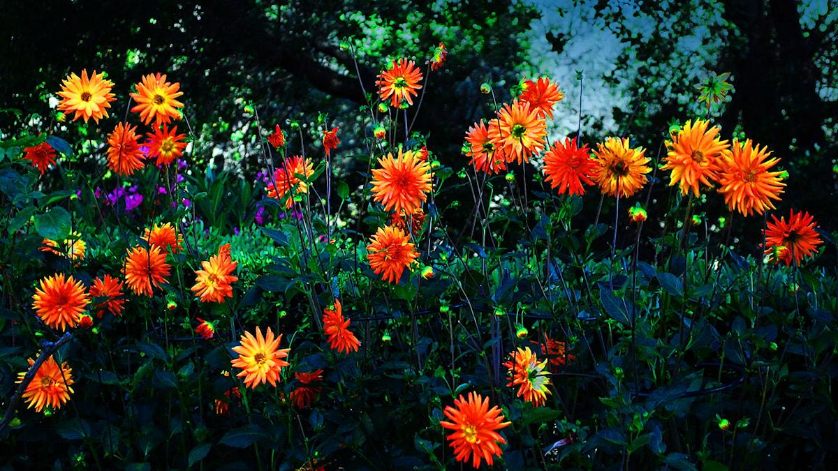 Dahlias at Hearst Castle. Foto: Trish Hartmann, Cc By, Flickr,http://bit.ly/1pK3cxM,  http://bit.ly/LicensEN