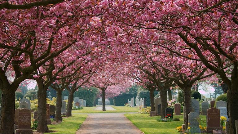 Allé med blommande körsbärsträd på kyrkogård.