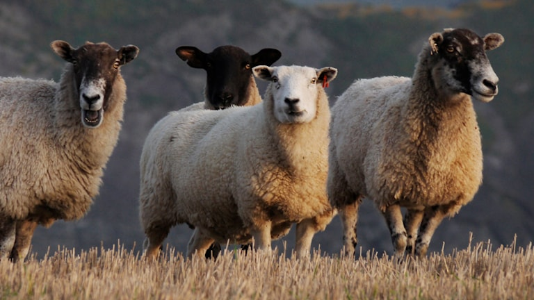 Fyra stycken får i en hage stirrar in i kameran. Ett av fåren ser ut att bräka.