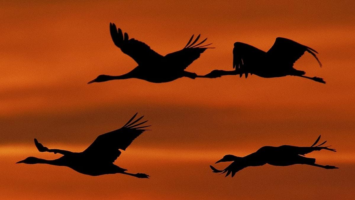 En grupp tranor flyger mot en orange himmelsbakgrund.