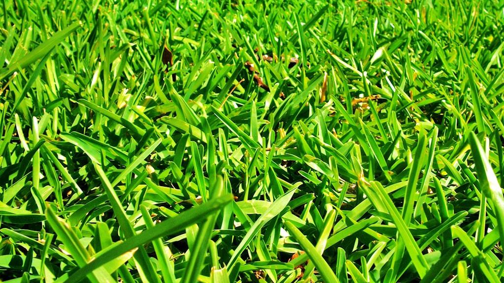 Närbild på grön och tät gräsmatta.
