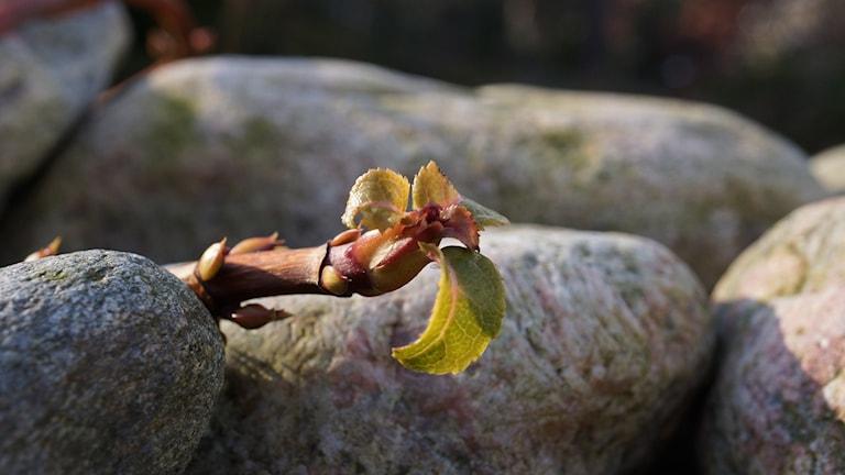 Solens strålar träffar en nyutslagen knopp på en kvist bland en massa stenar.