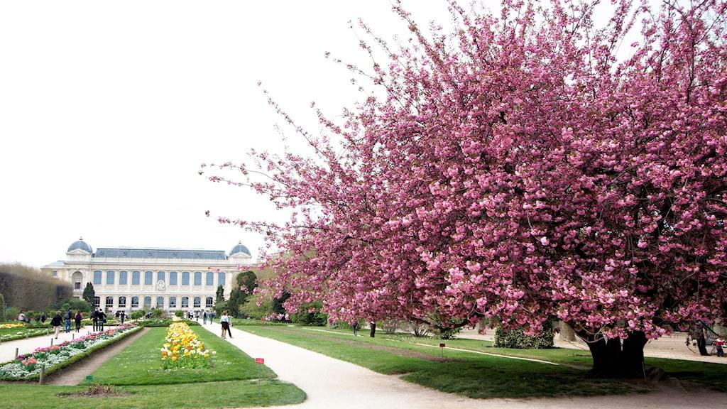 Blommande cerise-rosa körsbärsträd i Paris.
