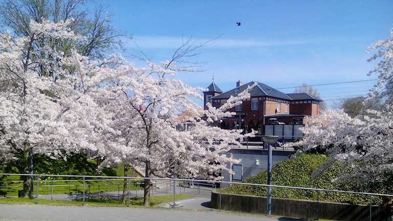 Blommande körsbärsträd vid Humlebaek station i Danmark.