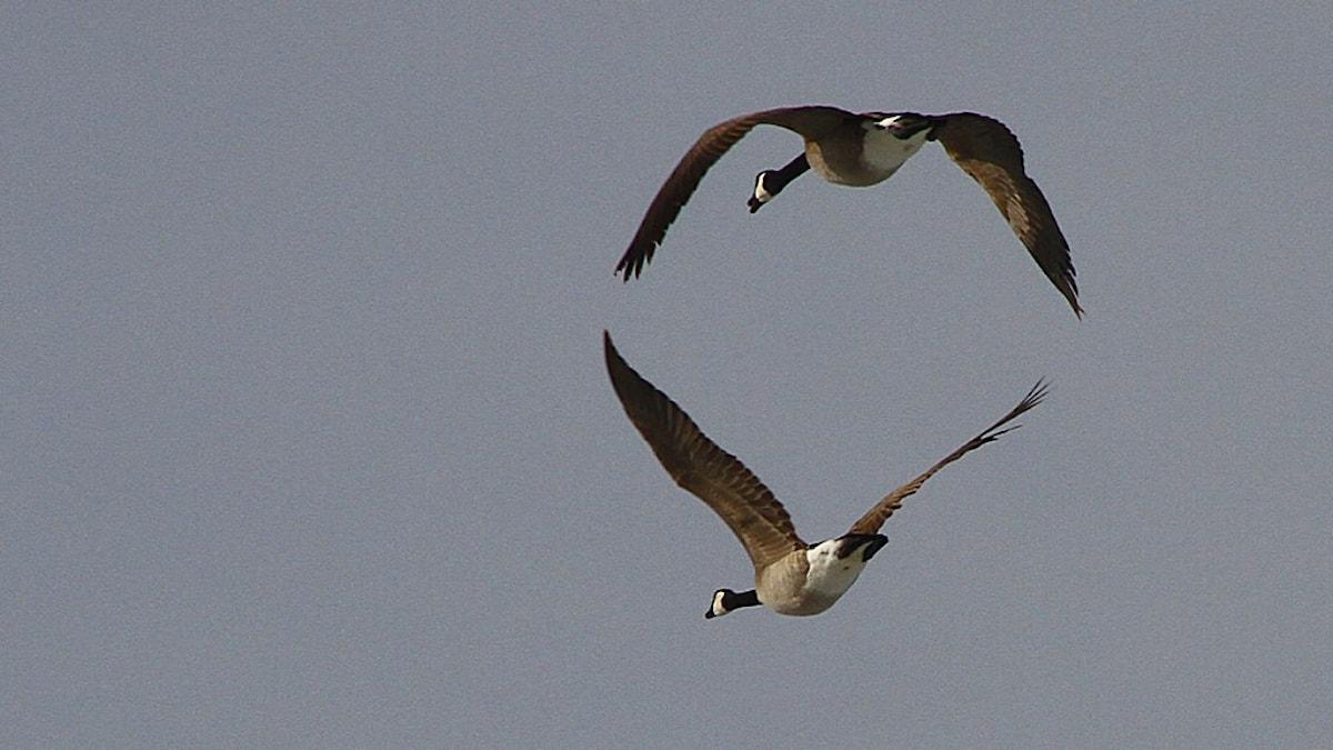 Två kanadagäss flyger bortåt.