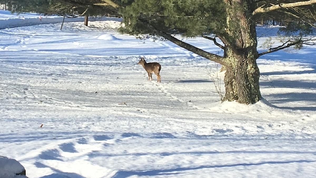 Ett rådjur eller en hjort i ett vinterlandskap i Quebec i Kanada.
