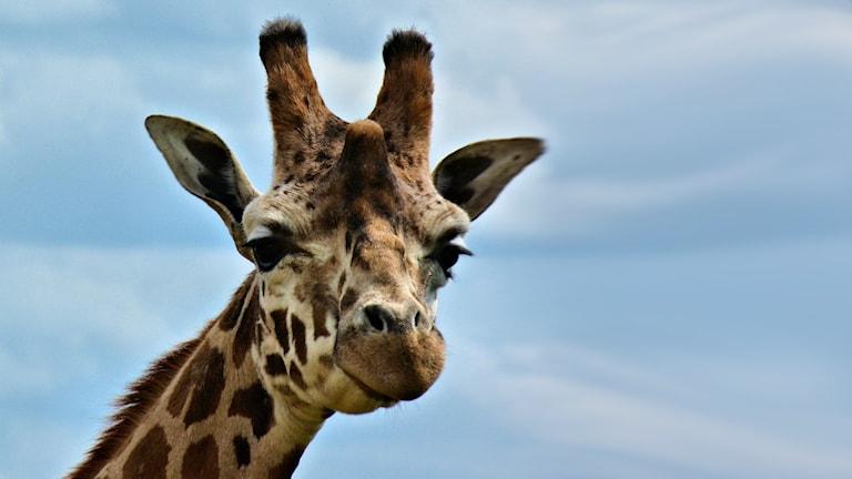 Närbild på huvudet på en giraff.