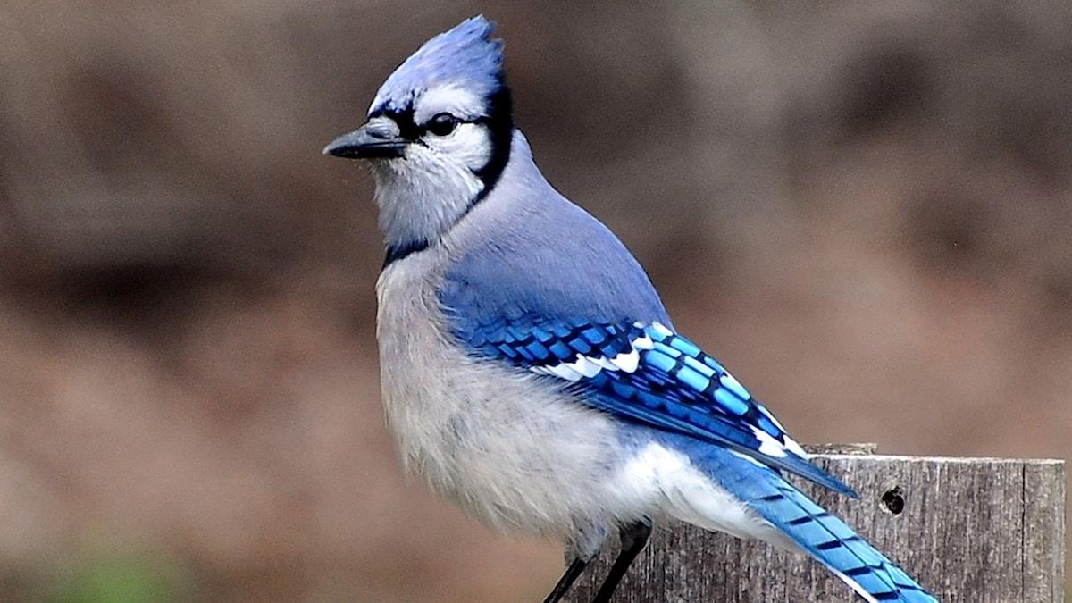 En blå fågel.