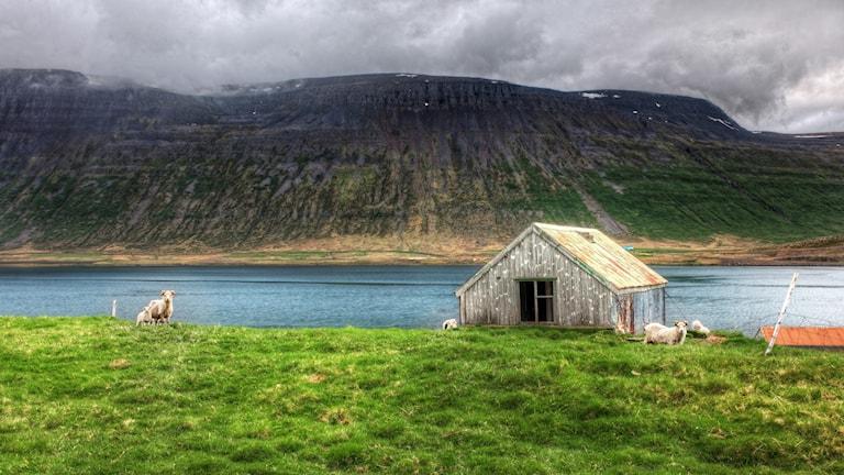 En väderbiten stuga och ett gäng får vid en sjö och ett berg på Island.