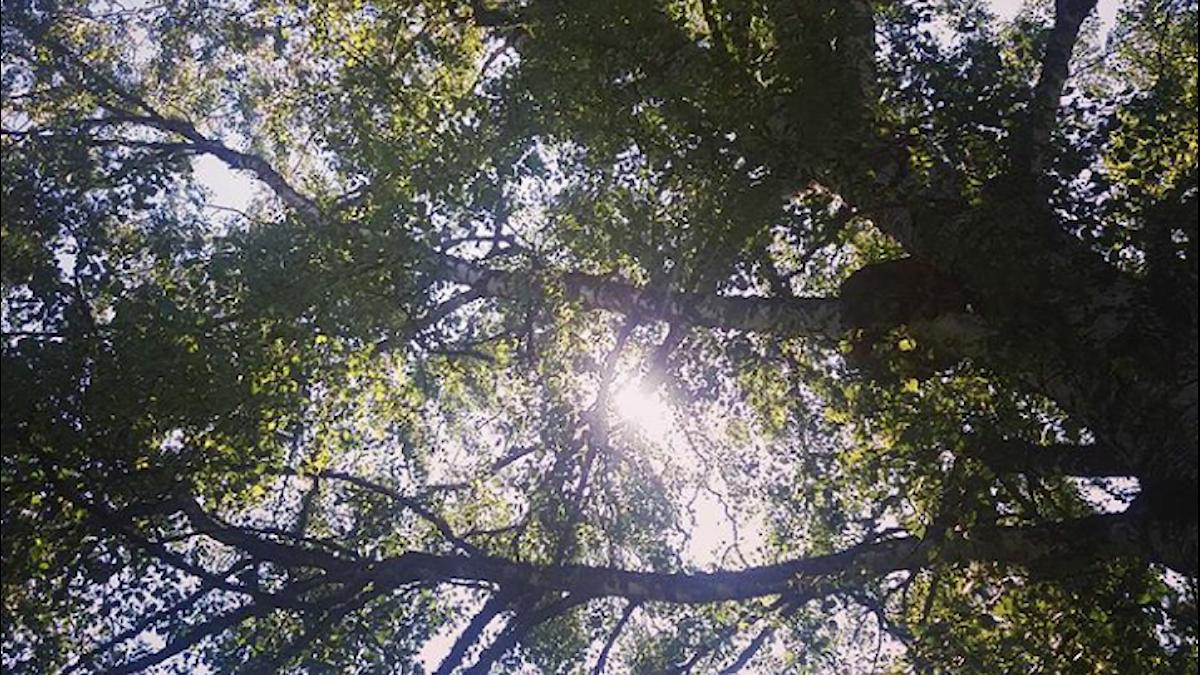Solen bryter igenom lövverket i en trädkrona sedd underifrån.