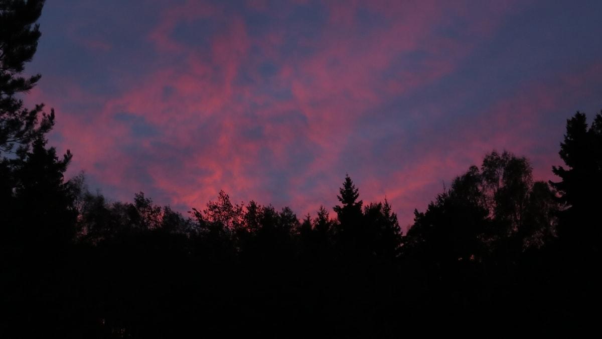 Vy upp mot trädtopparna och en spräcklig himmel i olika kvällsfärger.