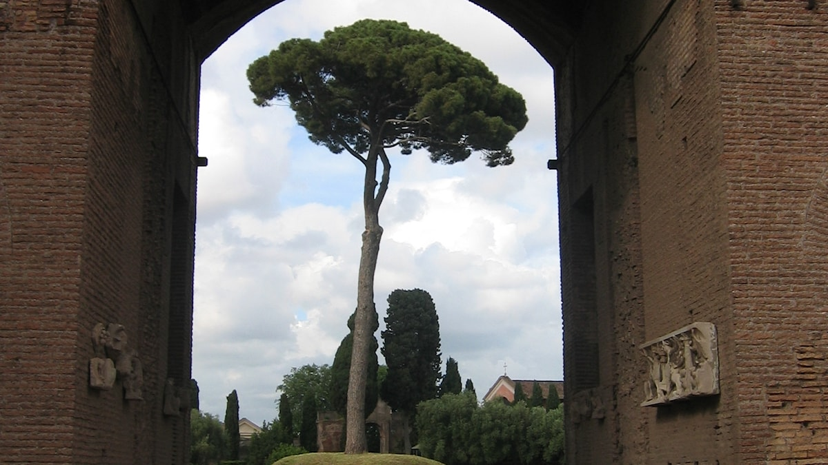 Pinjeträd i Rom.