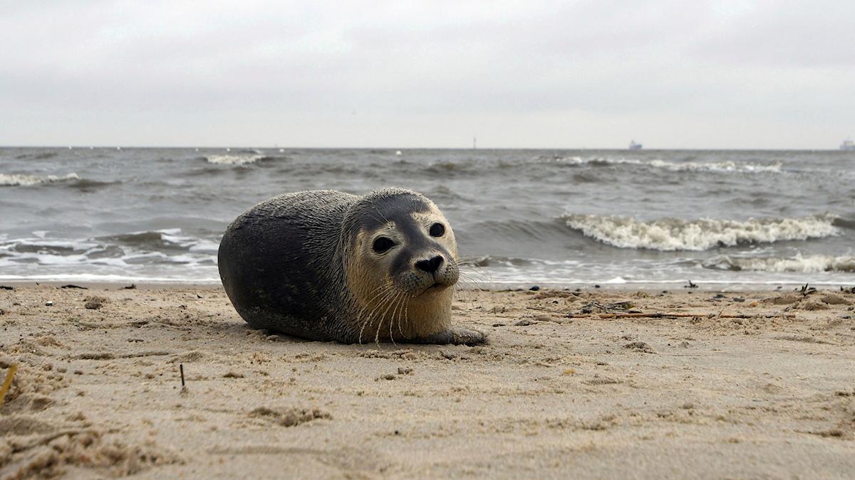 En sälkut på en strand.