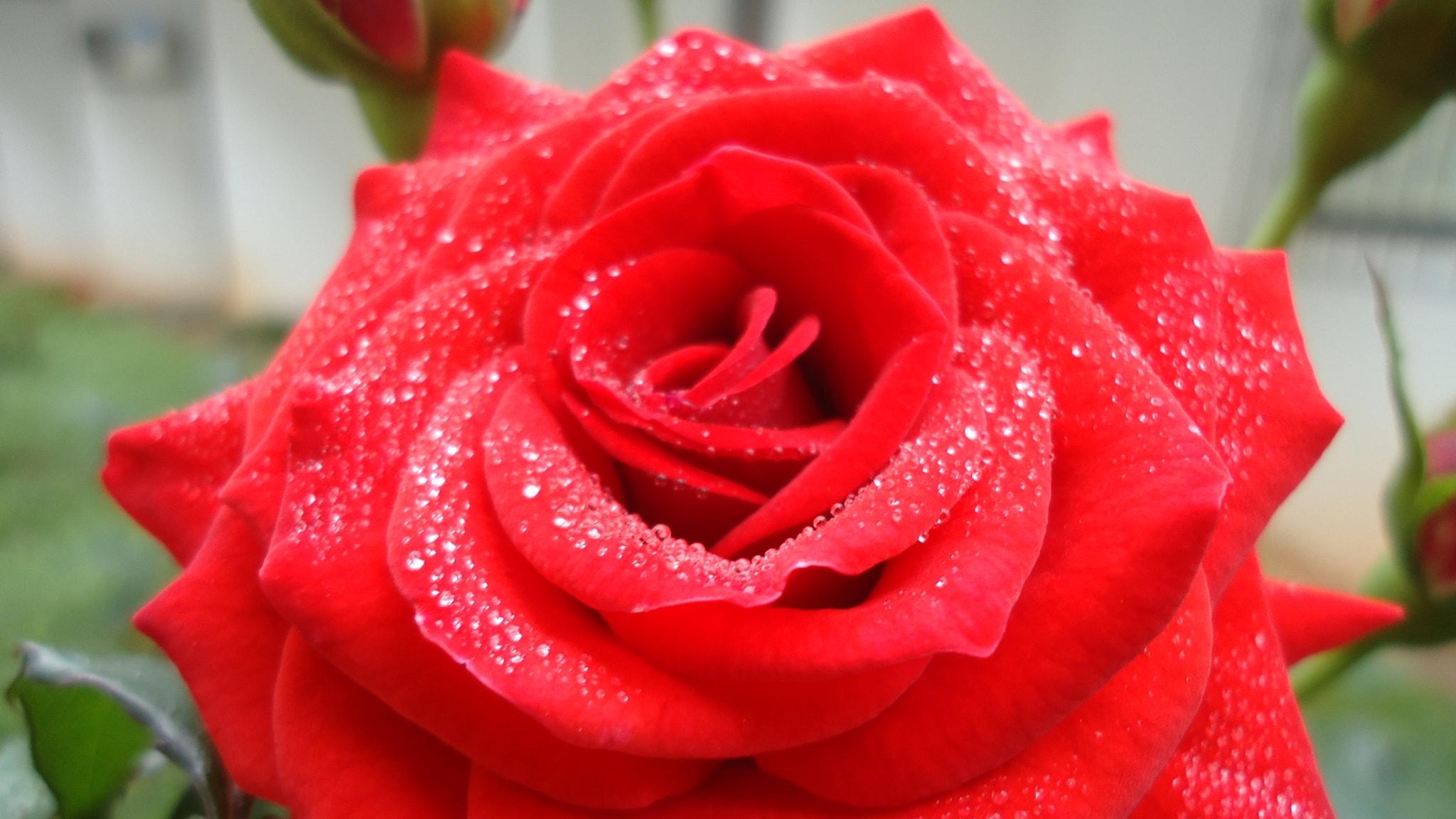 Klassisk morgon - En dofta av rosor i ditt öra