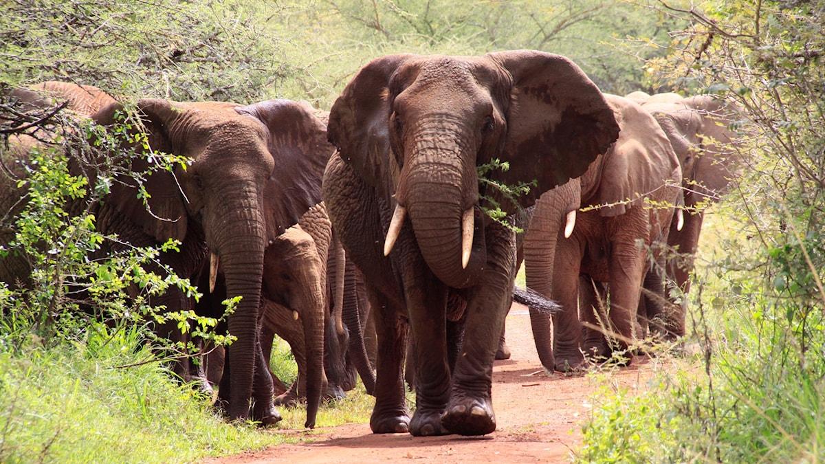 Elefanthjord på marsch i Rwanda.
