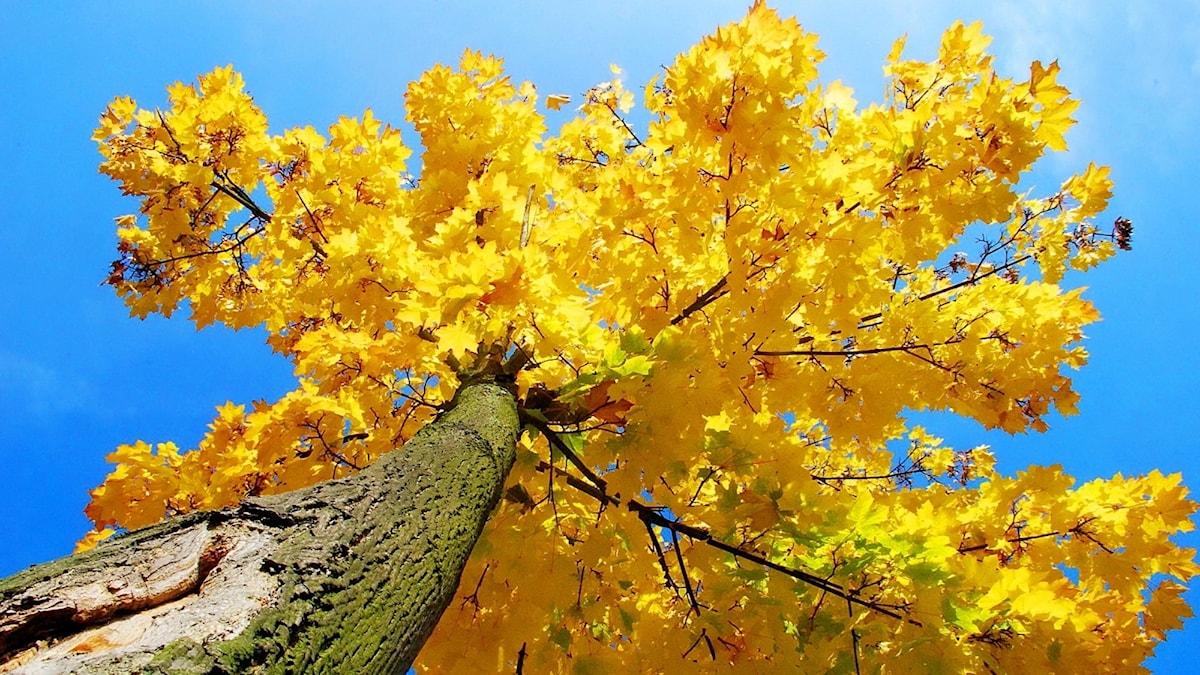 Ett lönnträd med höstgula löv.