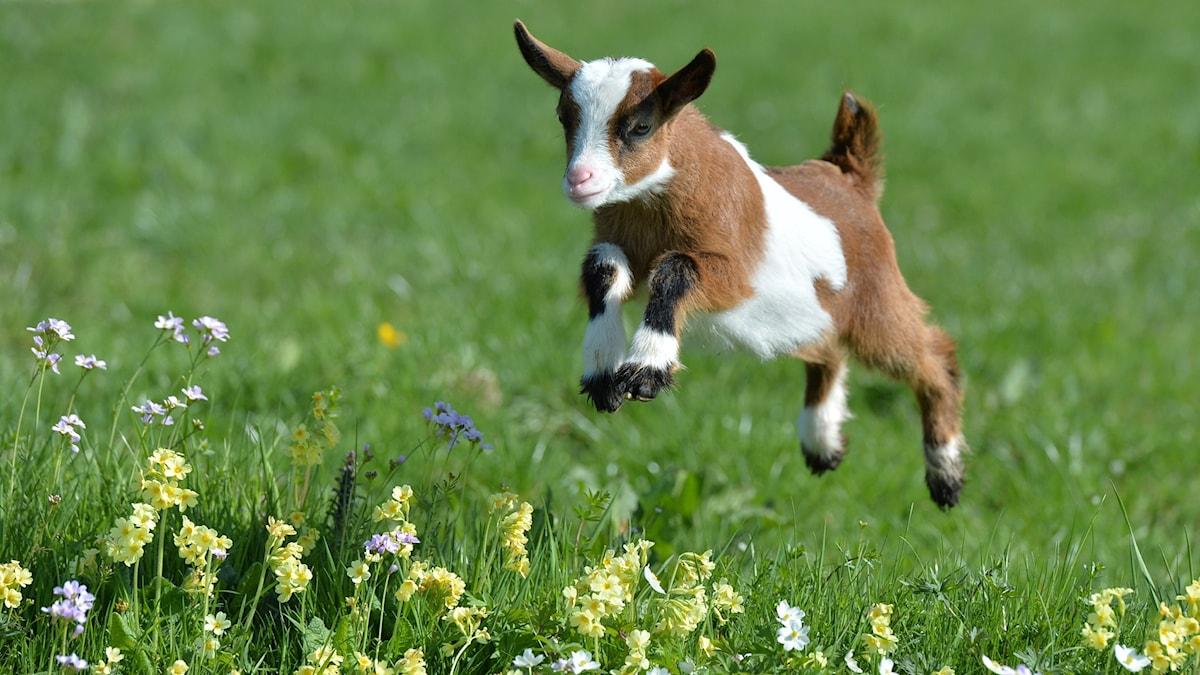 En killing hoppar på en gräsäng.