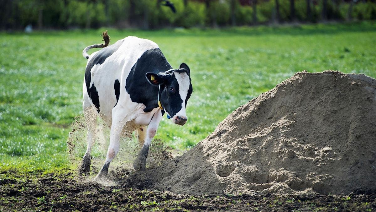 En svartvit ko som galopperar i en hage på kosläpp.