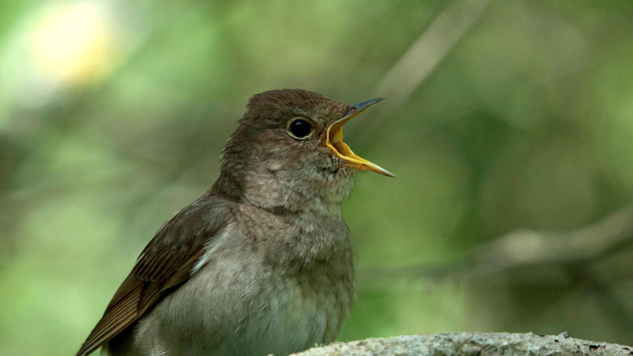 En brungrå fågel, intensivt sjungade med vidöppen näbb