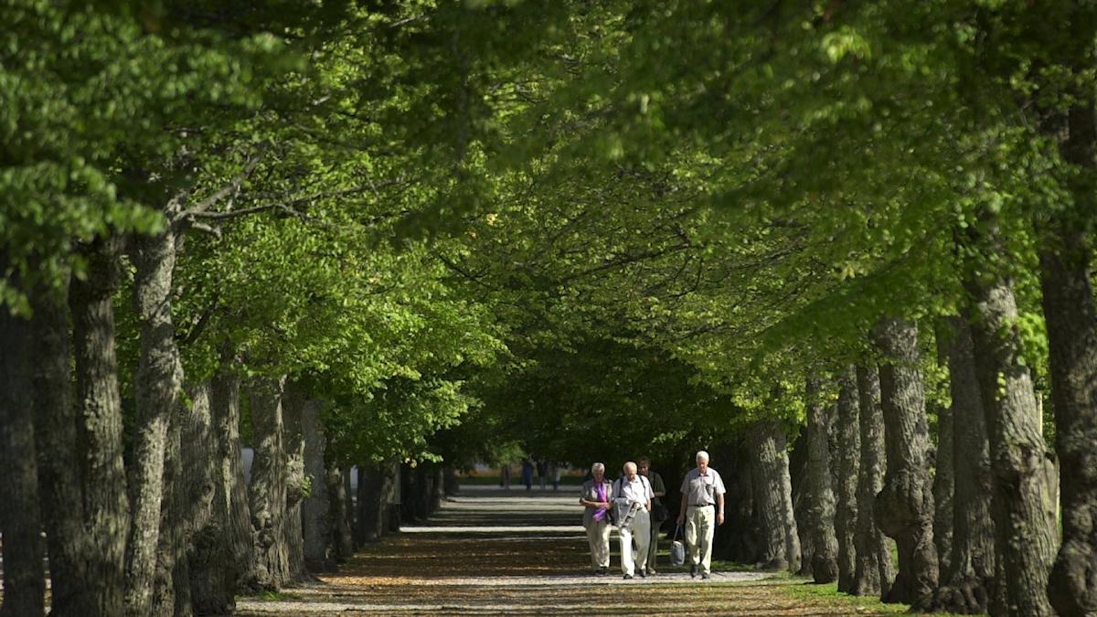 Människor promenerar i en allé av lindträd.