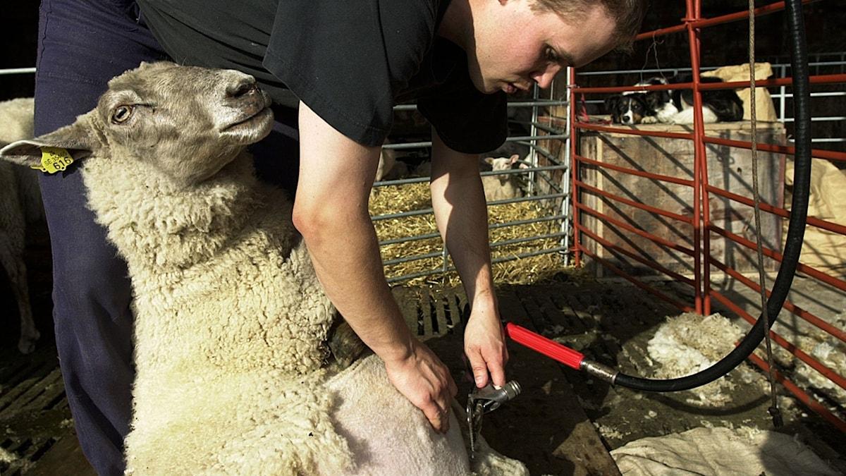 Ett får klipps med en klippmaskin.