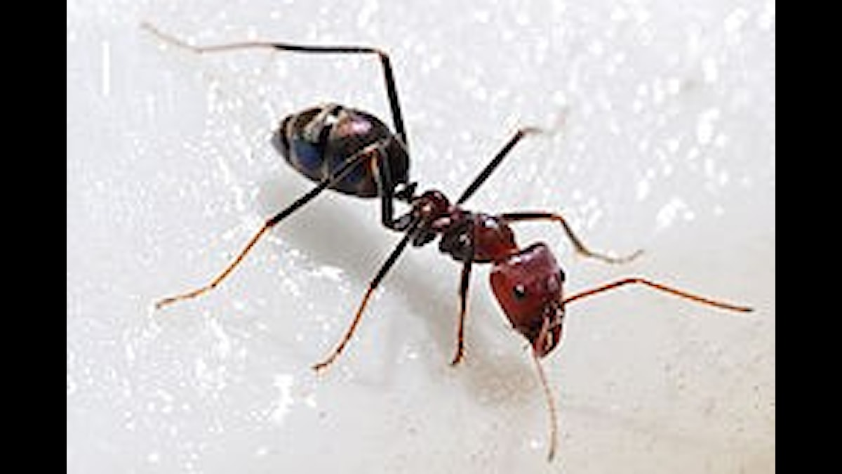 Myror är precis som getingar och bin gaddsteklar, och lever i kolonier. En myra får nästan inget gjort, men tilsammans....då du!