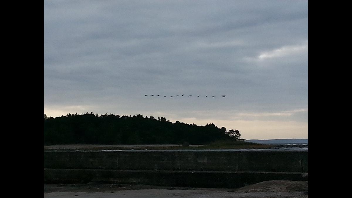 Flyttande fåglar över Själsö. Foto: Eva Sjöstrand/SR Gotland
