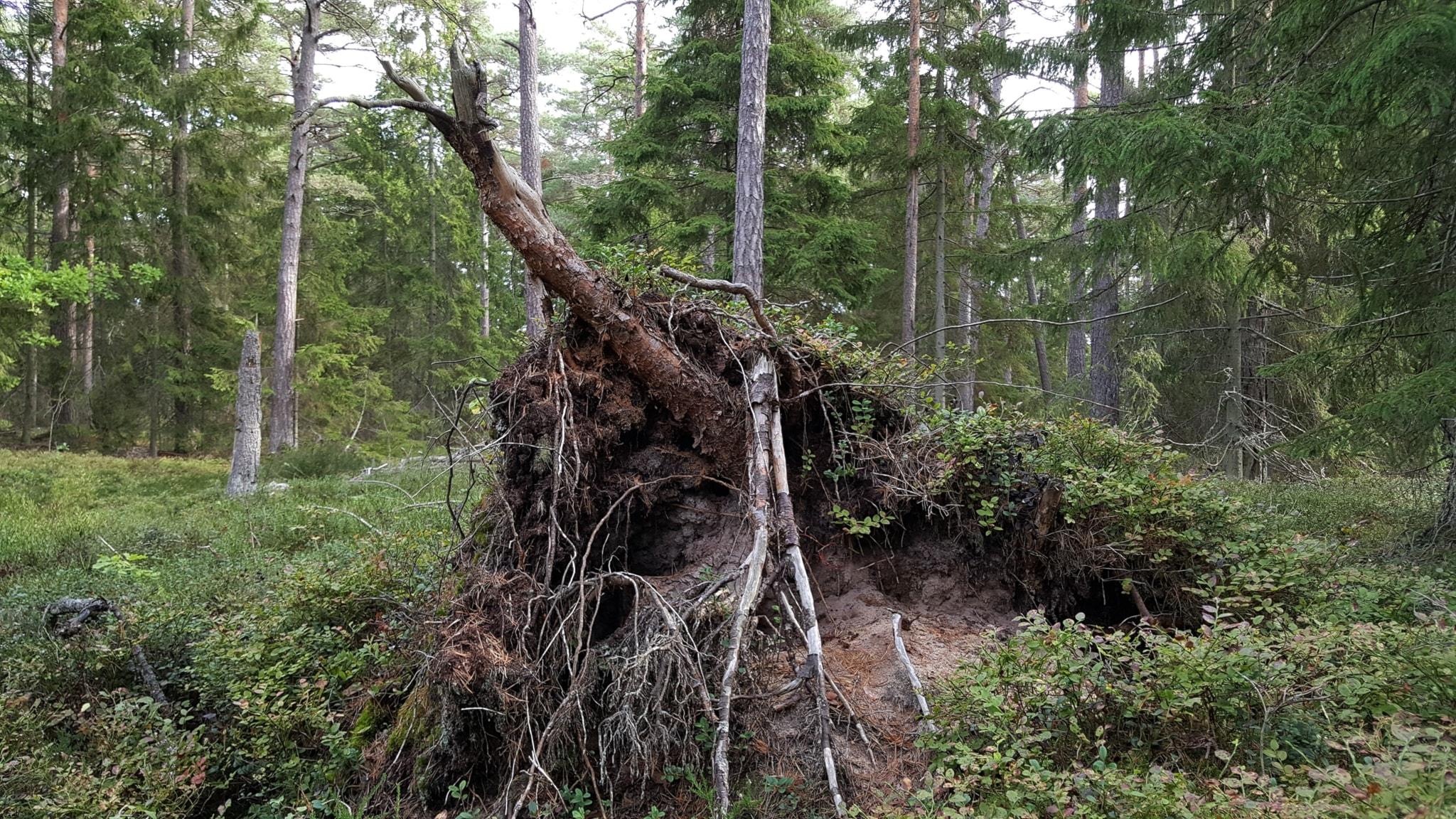 Den rofyllda skogen