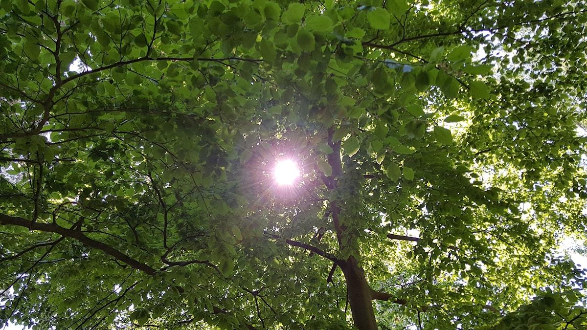 Ljusgrönt bladverk i skånsk bokskog