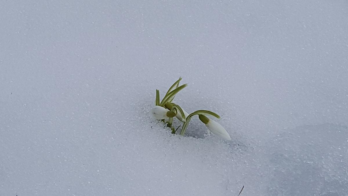 Tappert kämpande snödroppe