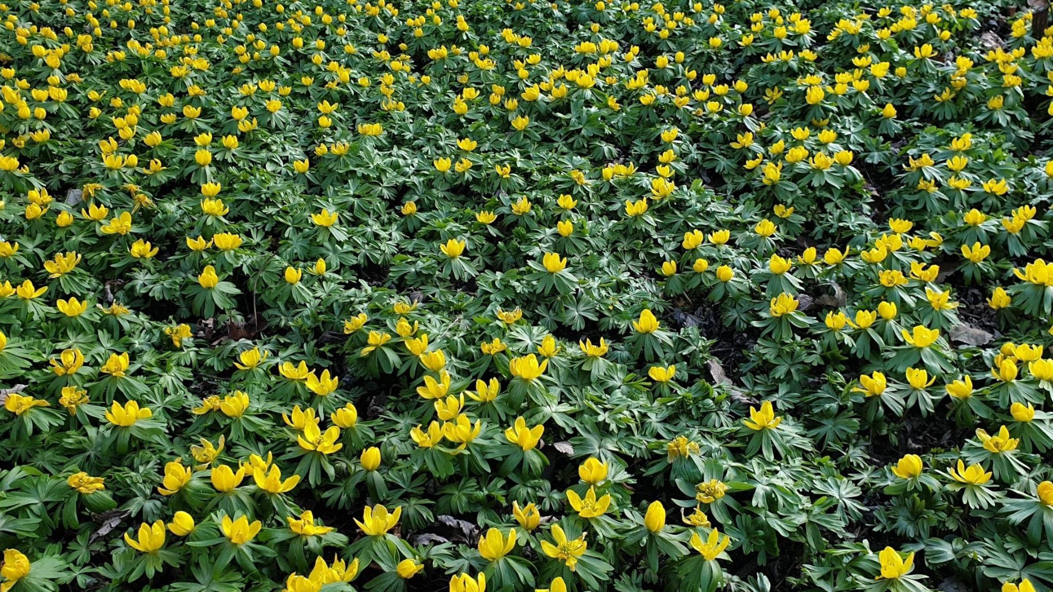 En matta av gula små blommor, vintergäck med gröna blad.