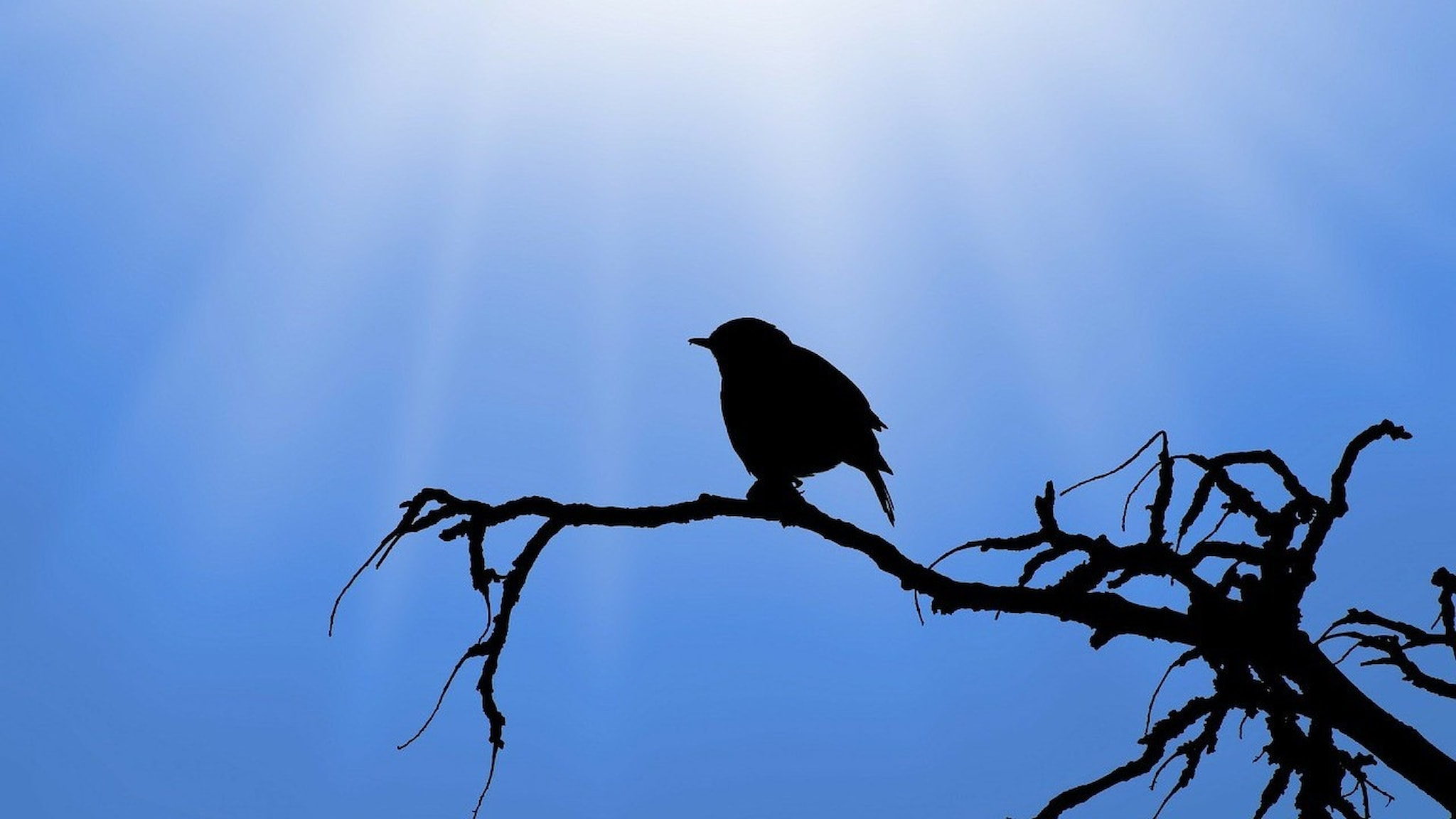 En sparv sitter på en gren, fotograferad i motsol, sparvens silhuett syns och bakom den blå himmel med solstrimmor.