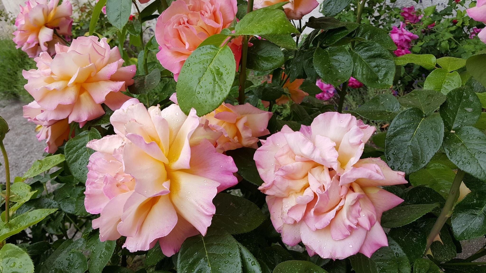 Barfota bland liljekonvalj och rosor