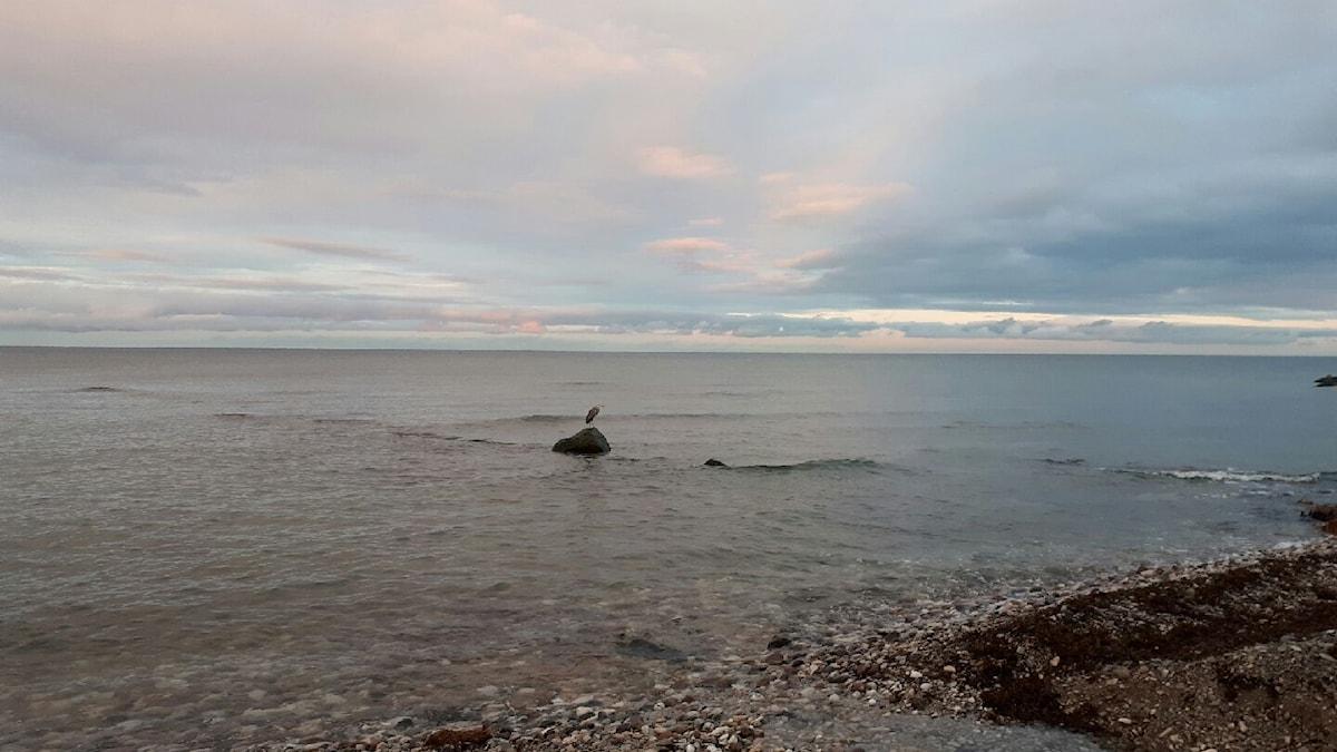 Häger på besök en novembermorgon i Visby.