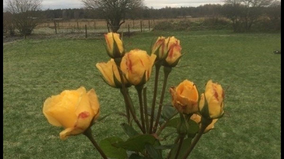 Blommande ros i advent, Burs på Gotland.