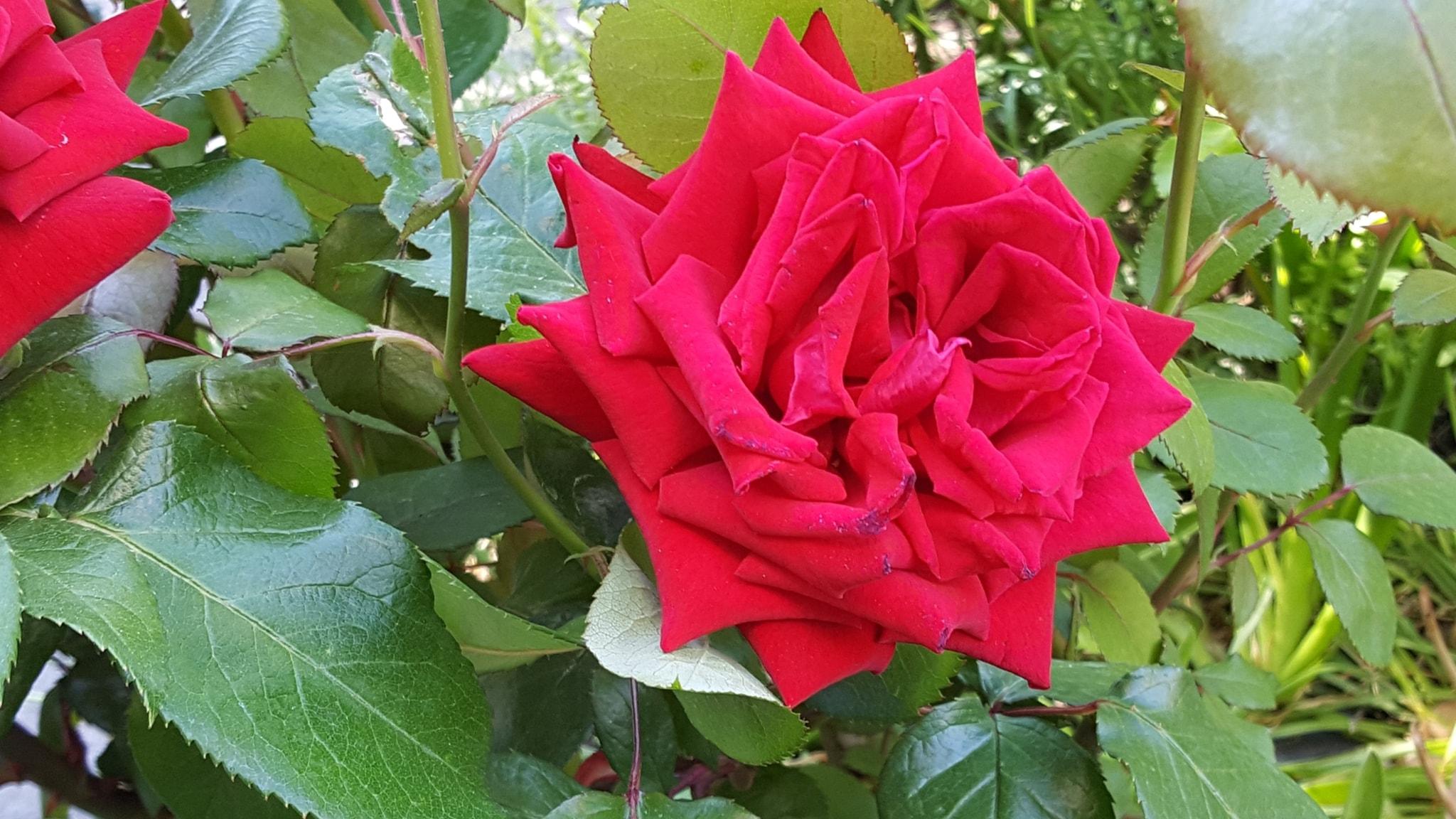 En ros, en ros är en ros