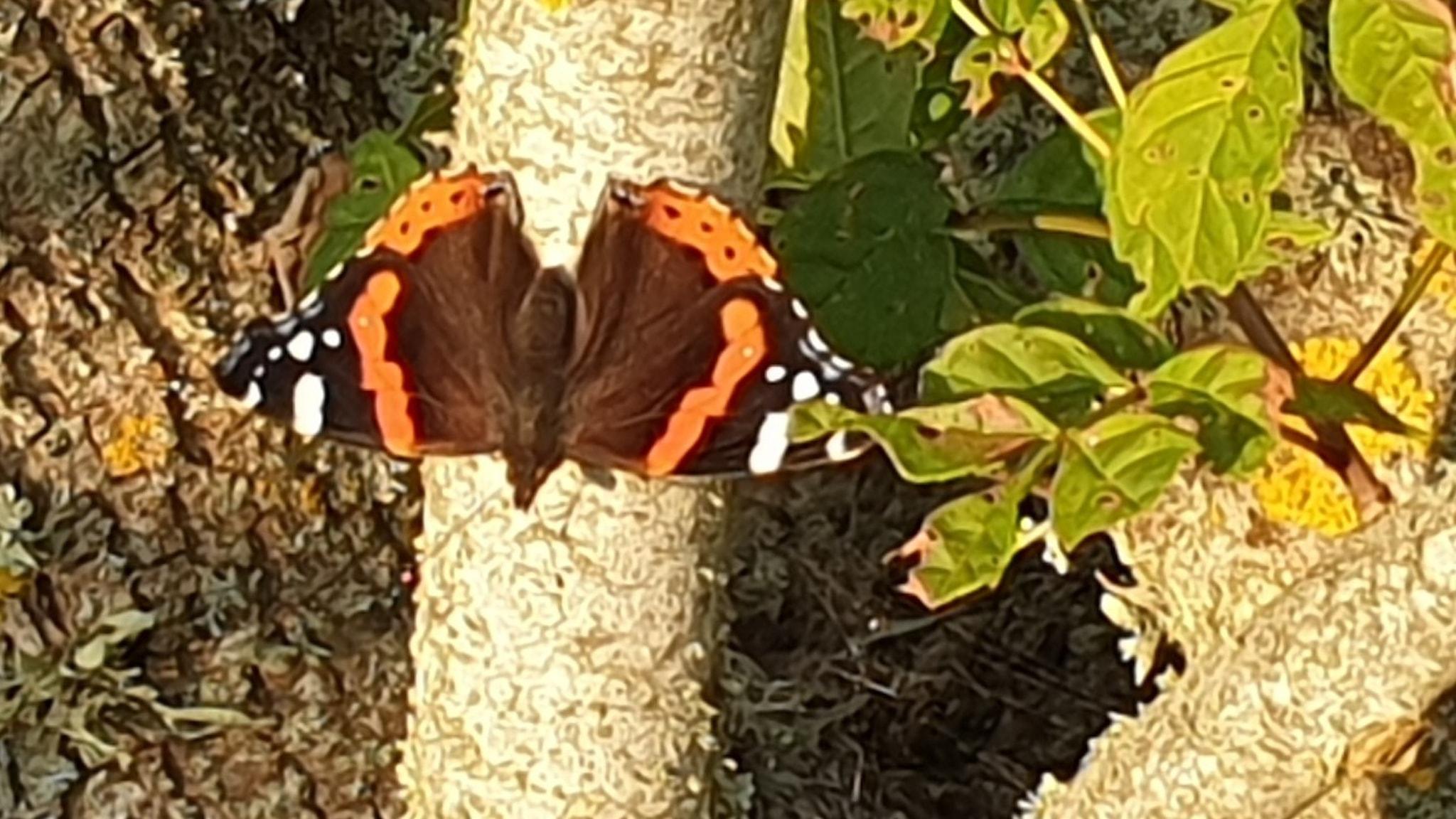 En praktfull amiralfjäril, svart med vingspetsar i orange och svart/vit teckning sitter på en trädstam.