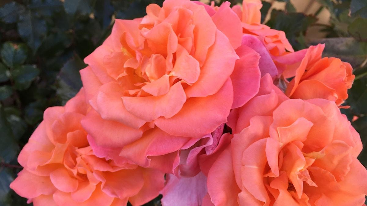 Rosa rosor sommaren 2017