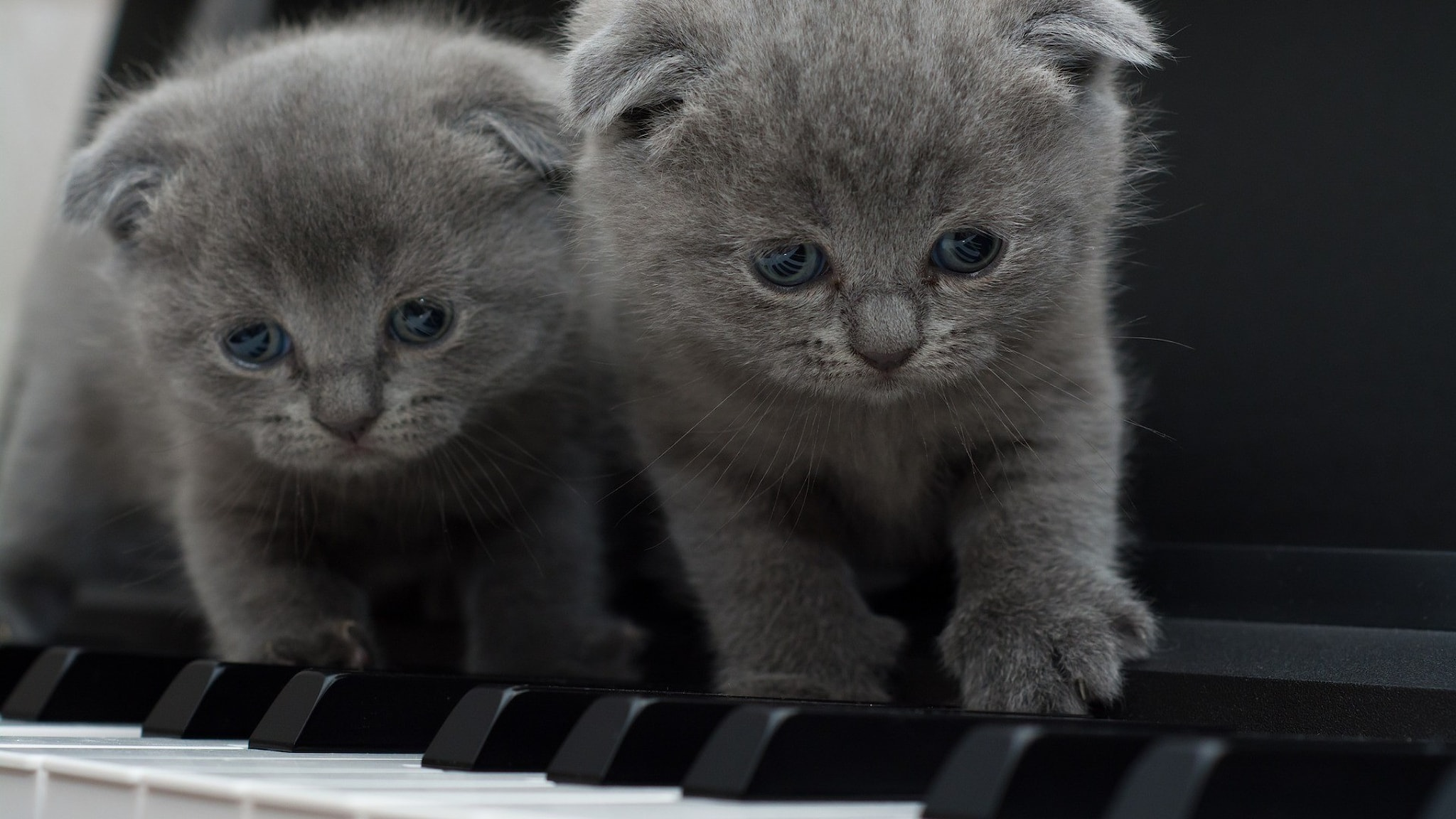 Två grå kattungar på pianotangenter
