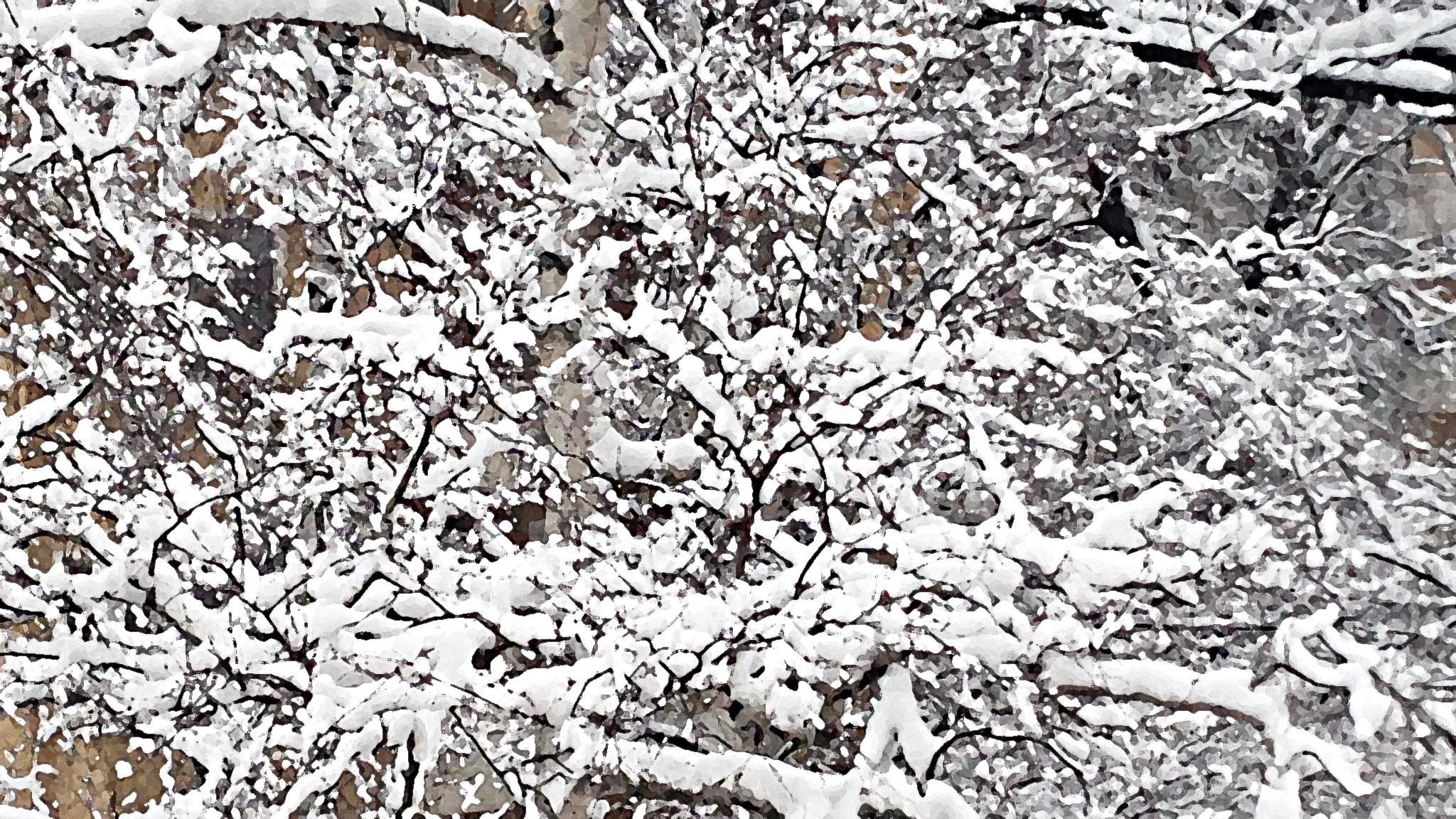 Snö på träd. (bearbetad) Foto: Per Feltzin / Sveriges Radio