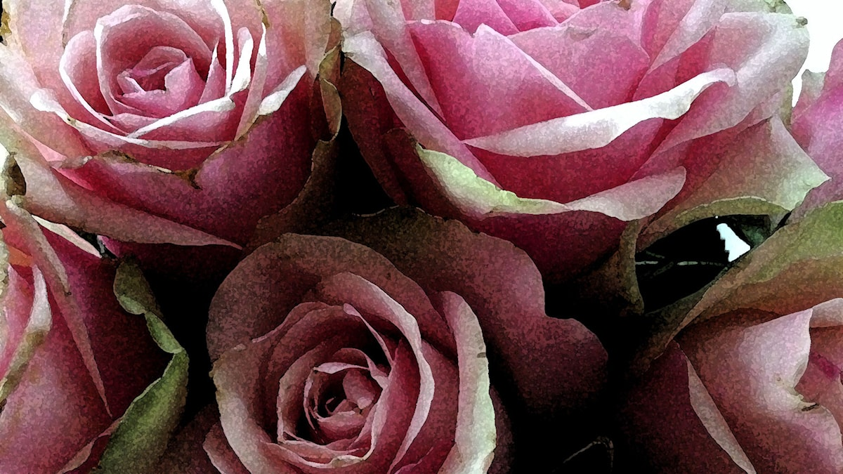 Rosa rosor fyller rummet.