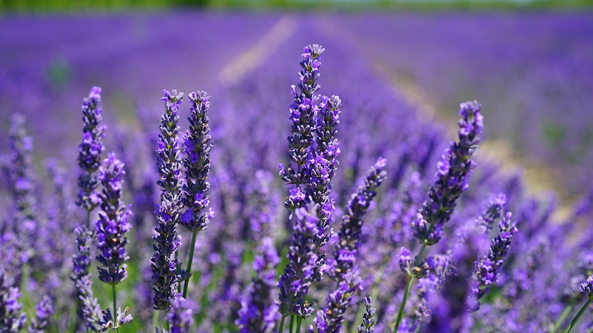 Lavendeldrömmar