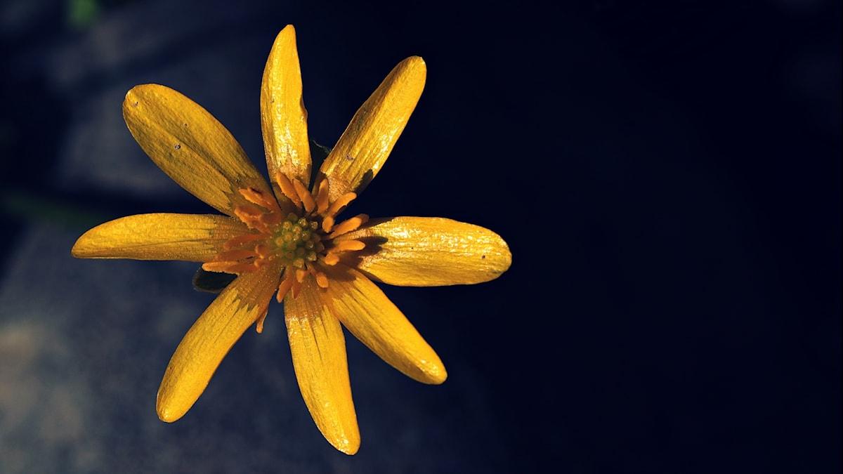 Svalört är en art i familjen ranunkelväxter