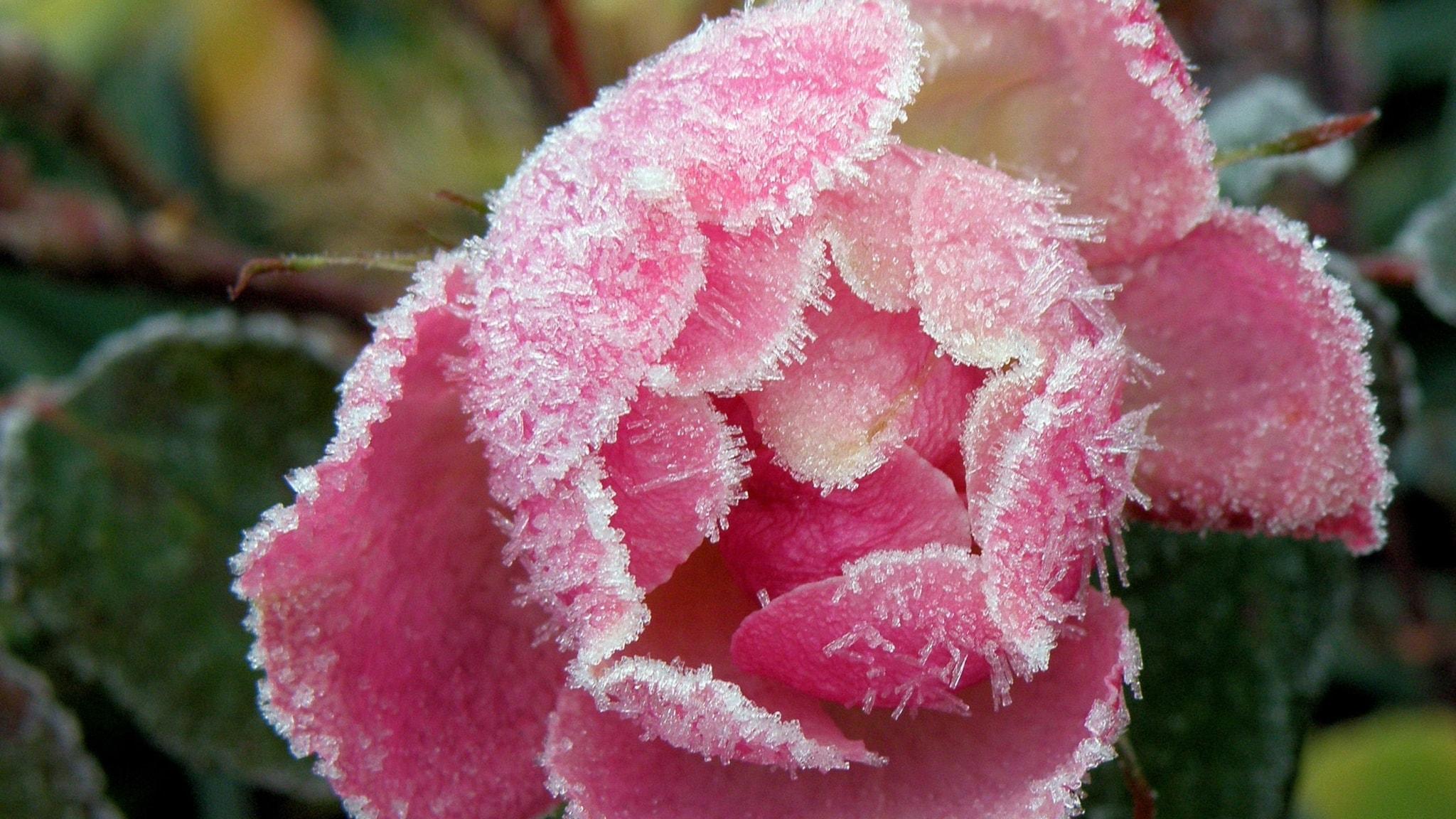 Frostnupenrosa blomma