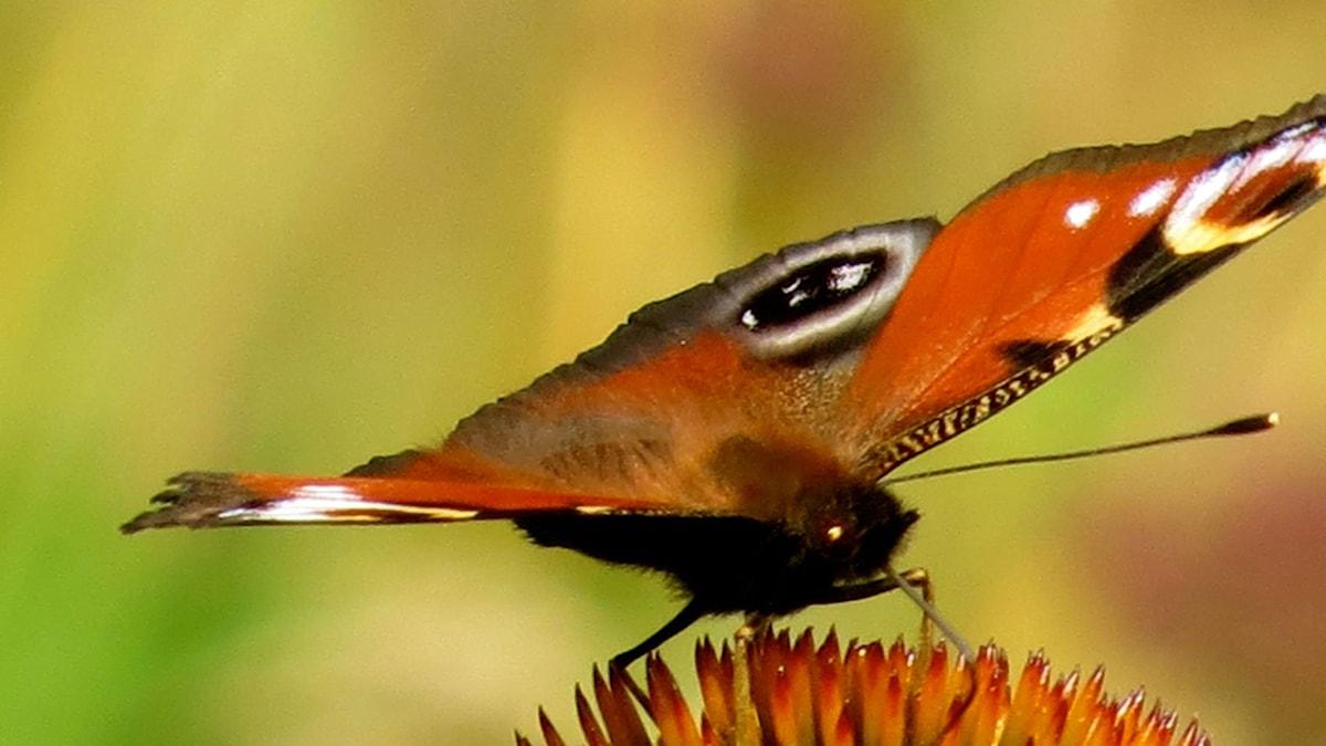 Fjäril-på-blomma-Foto-Hedvig-Blidberg
