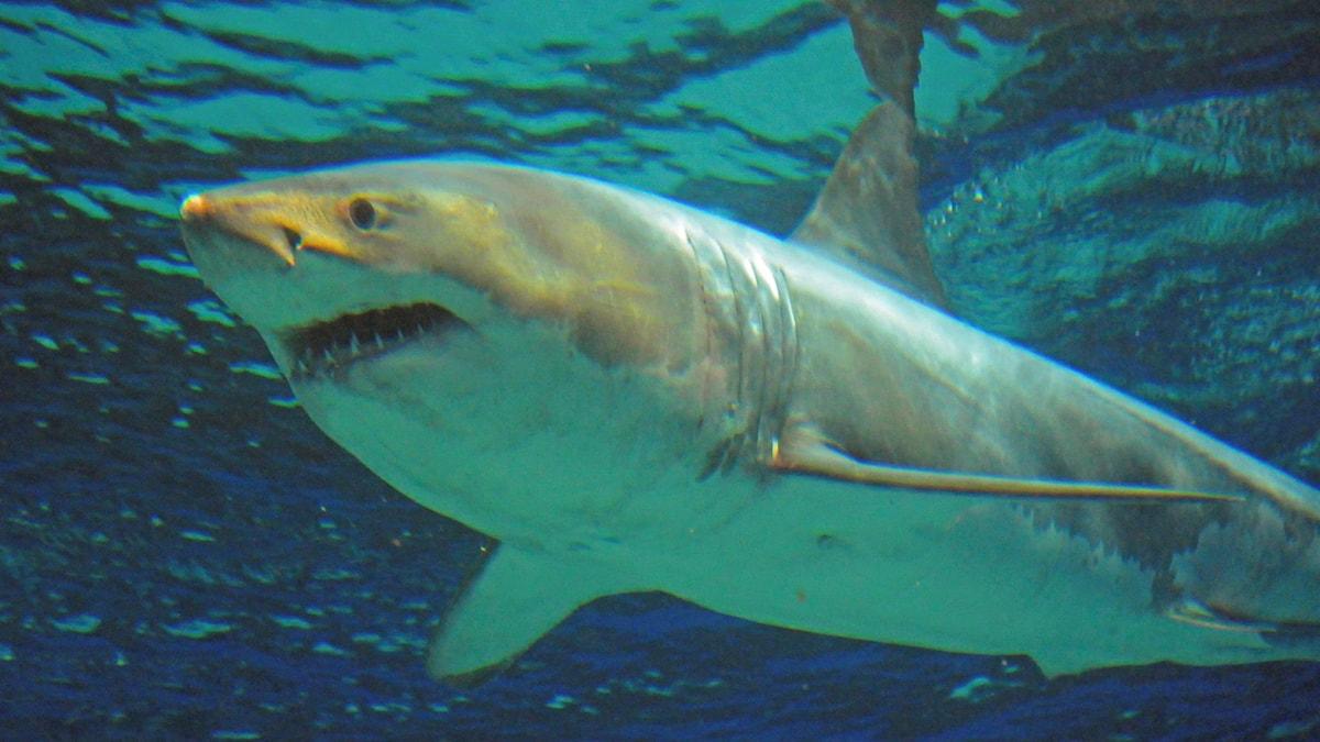 En haj som snart kommer skaffa nya tänder? Foto: Okinawa Churaumi Aquarium/AP