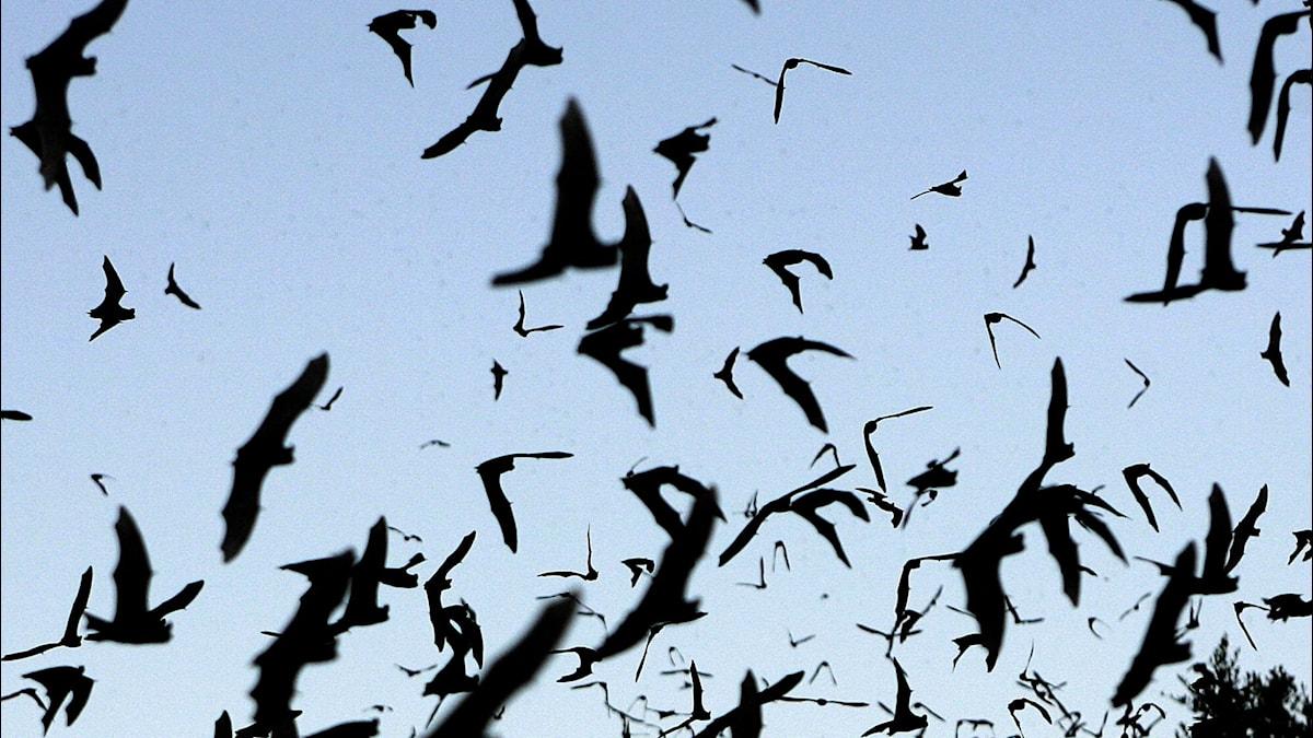 Många fladdermöss ser inte så bra, men hittar ändå i mörkret. Hur då? Foto: AP Photo/Harry Cabluck