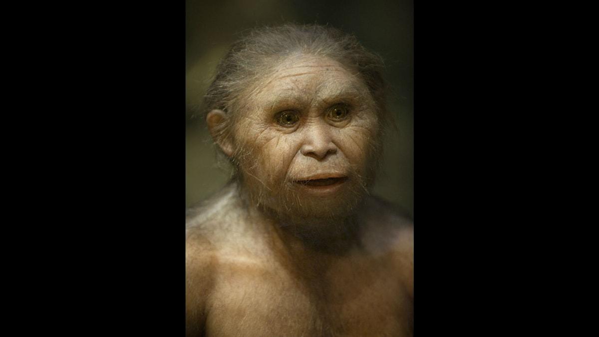 En modell av människoarten Homo Floresiensis. Ser lite ut som en hobbit va? Foto: Henrik Montgomery / TT